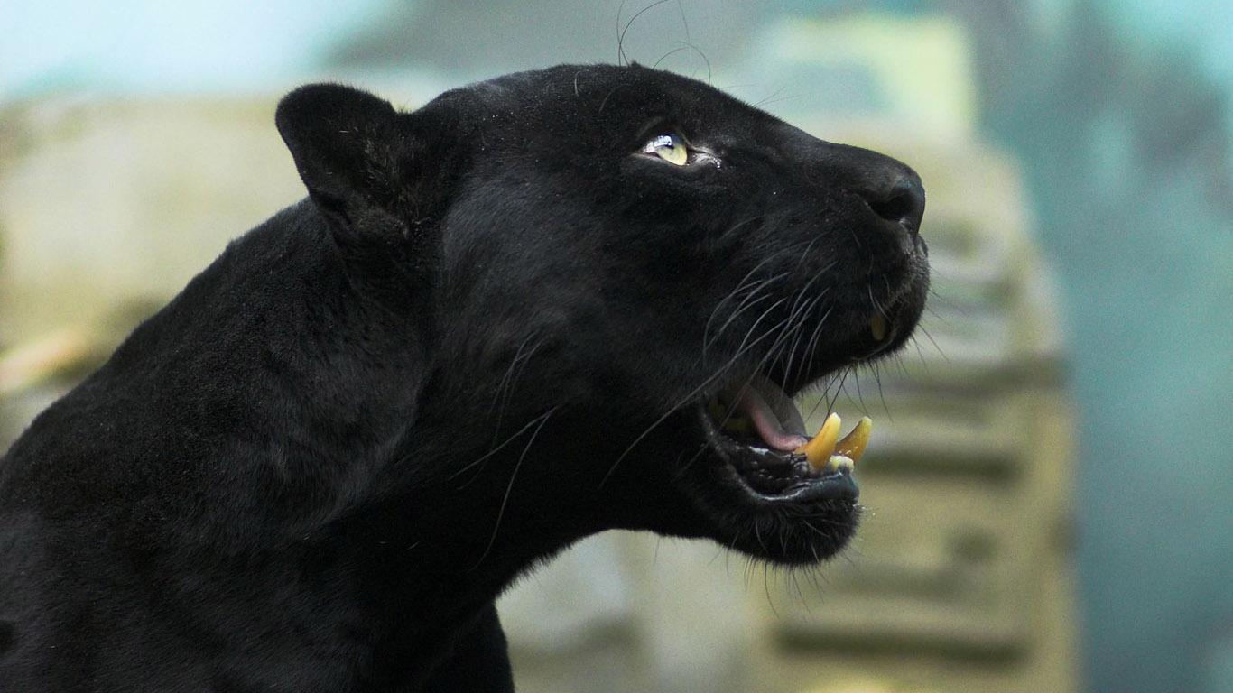 Black Panther Desktop Wallpaper 1366x768 pixel Popular HD 1366x768