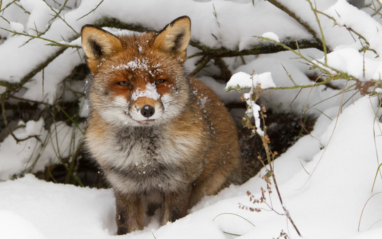 Winter wallpaper with a red fox near his hole HD animals wallpapers 1600x1000