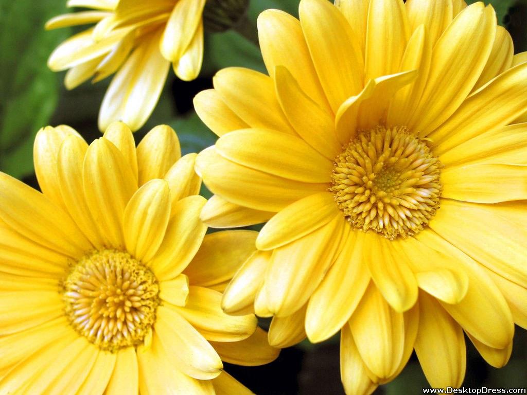 Desktop Wallpapers Flowers Backgrounds Yellow Gerbera Daisy 1024x768