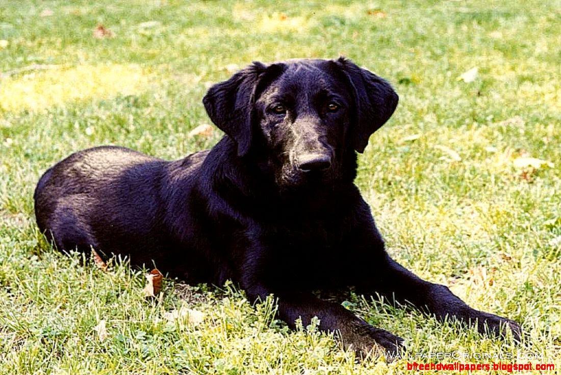 Dog Black Labrador Retriever Look Hd Wallpaper HD Wallpapers 1100x736