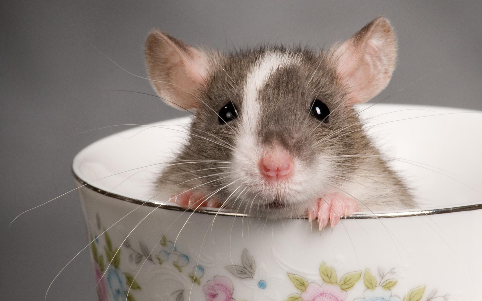 cute rat wallpaper art - photo #35
