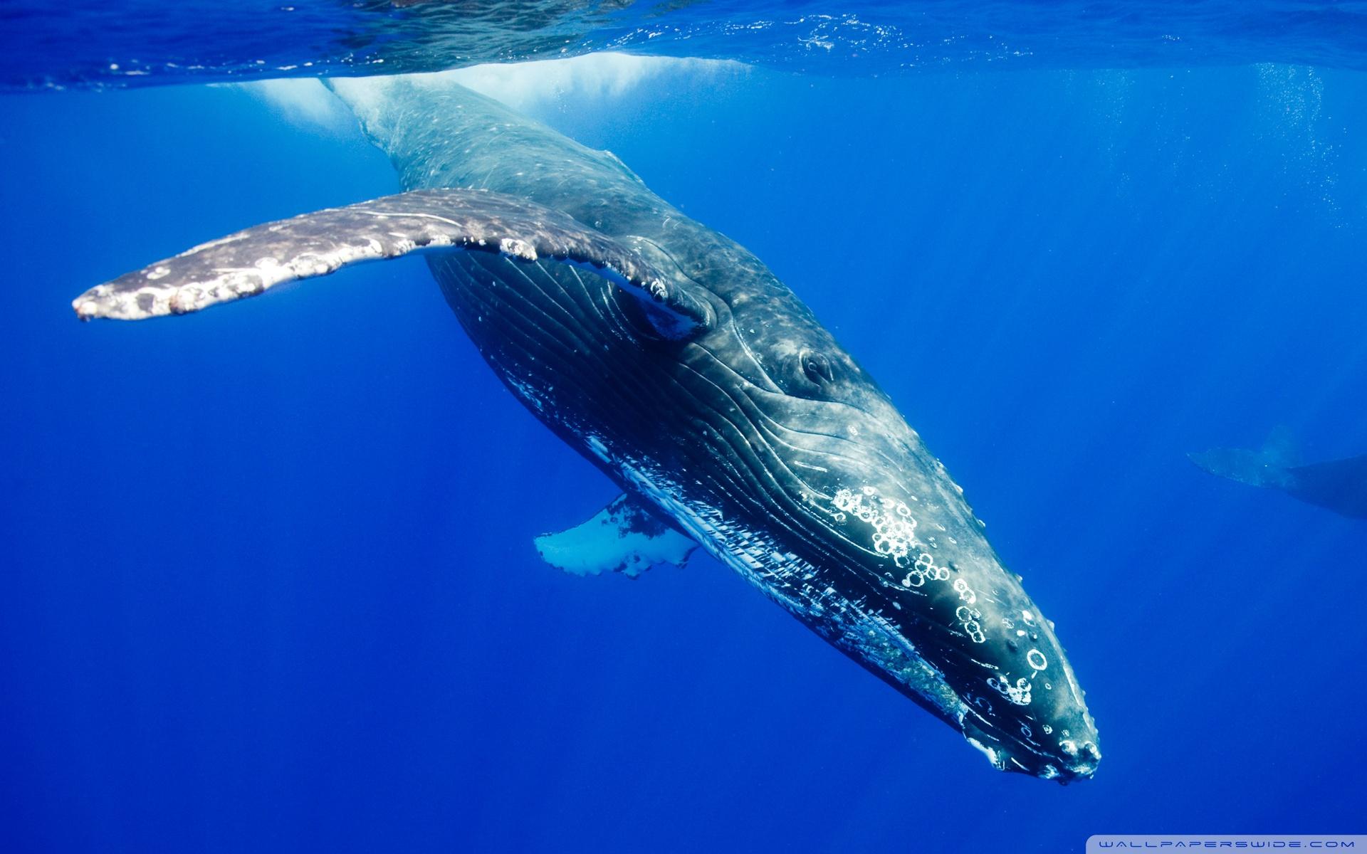 Hump Back Whale   Humpback Whales Wallpaper 32310755 1920x1200