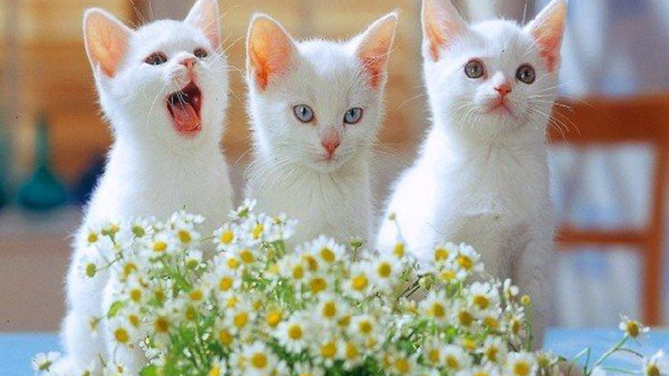 Cute Cats and Kittens Wallpapers   Top Cute Cats and Kittens 1366x768