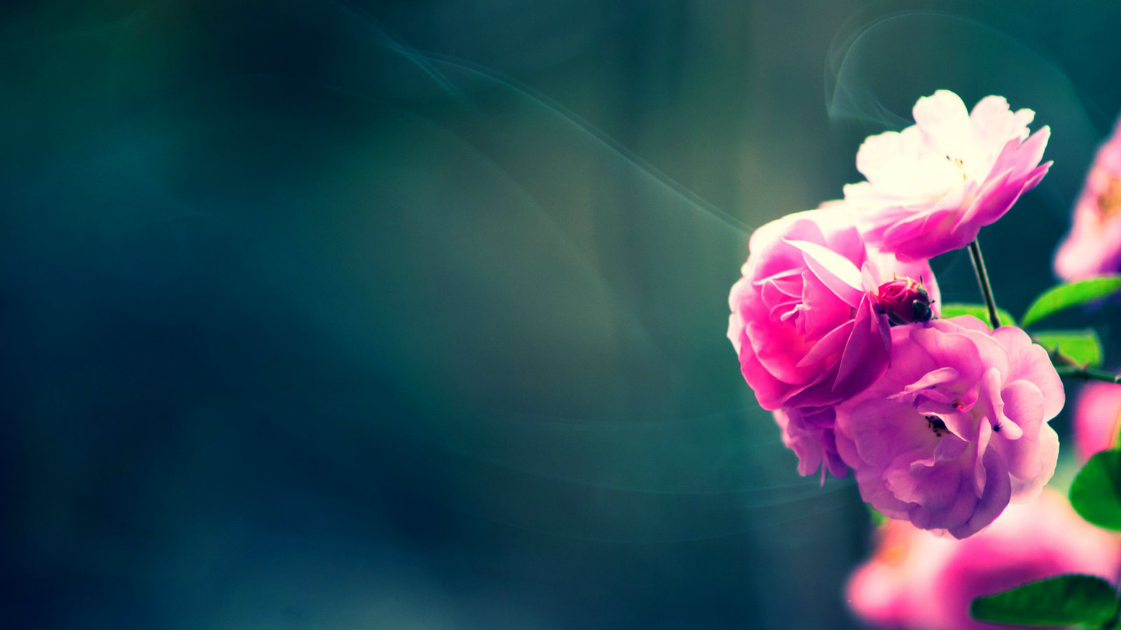 Download Beautiful Pink Rose Wallpaper Most HD Wallpapers 1600x900