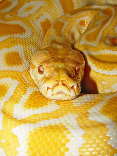 Burmese Python Wallpaper Wallpapersafari