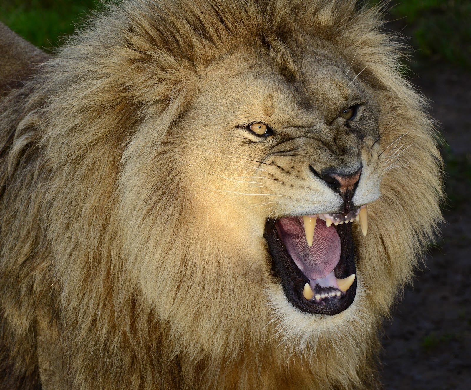 Lion Roar Wallpaper - WallpaperSafari - photo#38