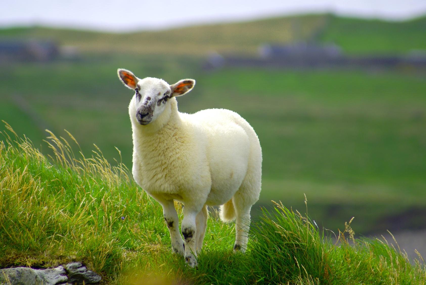 32 Sheep Wallpapers On Wallpapersafari