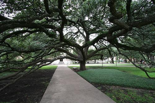 Century Tree at Texas AM Flickr   Photo Sharing 500x333
