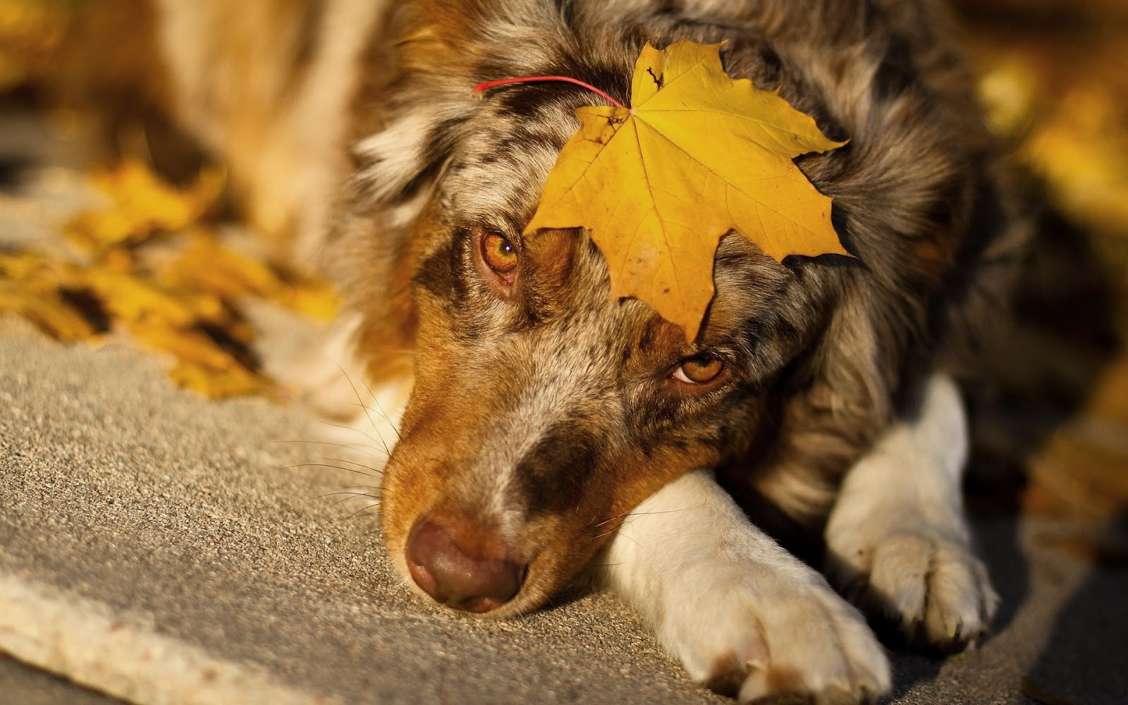 Australian Shepherd with a autumn leave on his head HD dog wallpaper 1600x1000