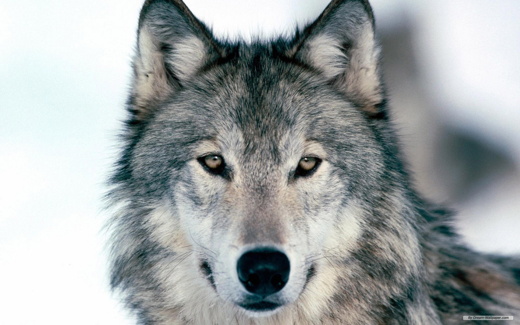 free wallpaper free animal wallpaper wolf wallpaper 1680x1050 - Animal Pictures To Print Free