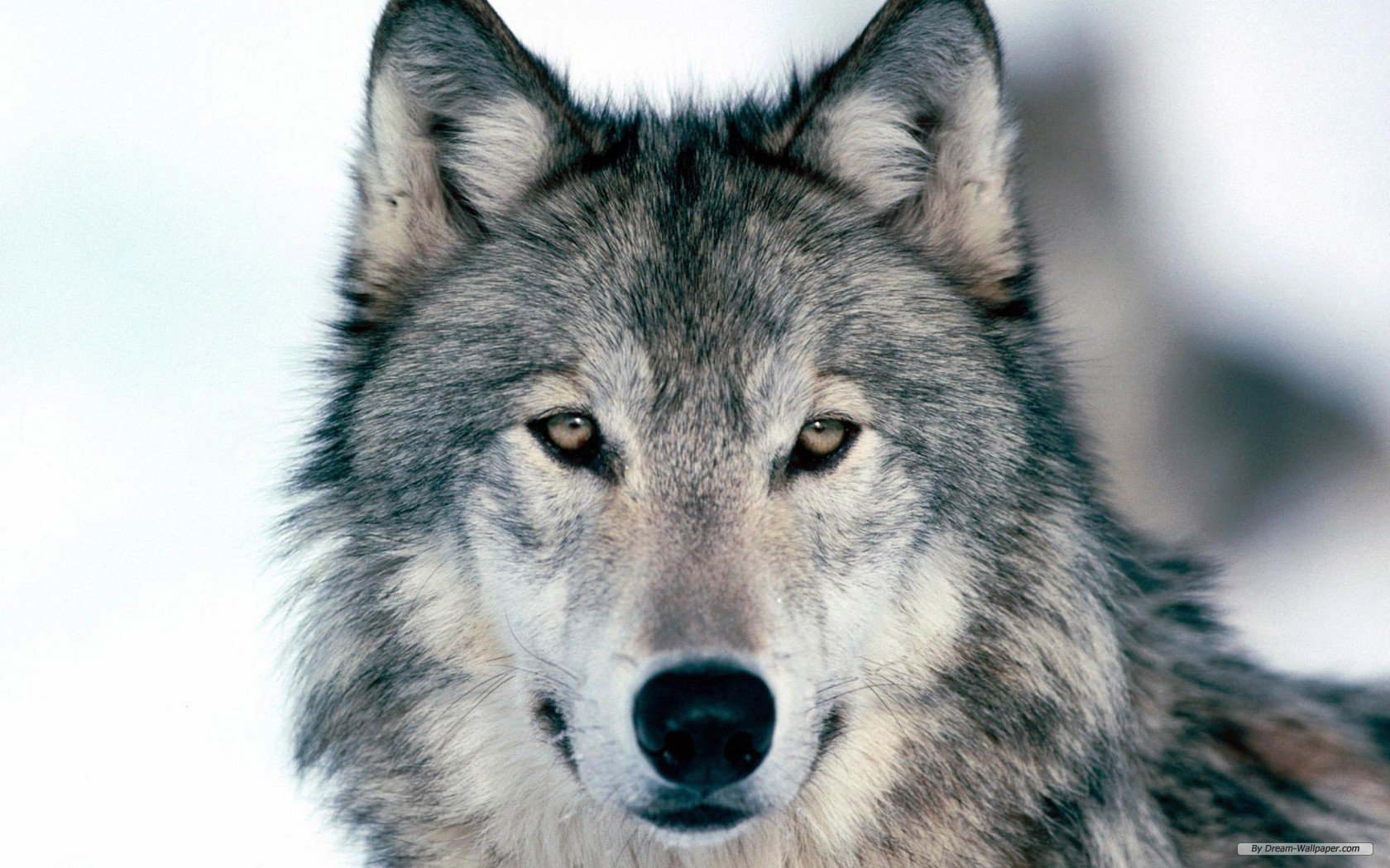 free wallpaper free animal wallpaper wolf wallpaper 1680x1050 - Animal Pictures To Print Free