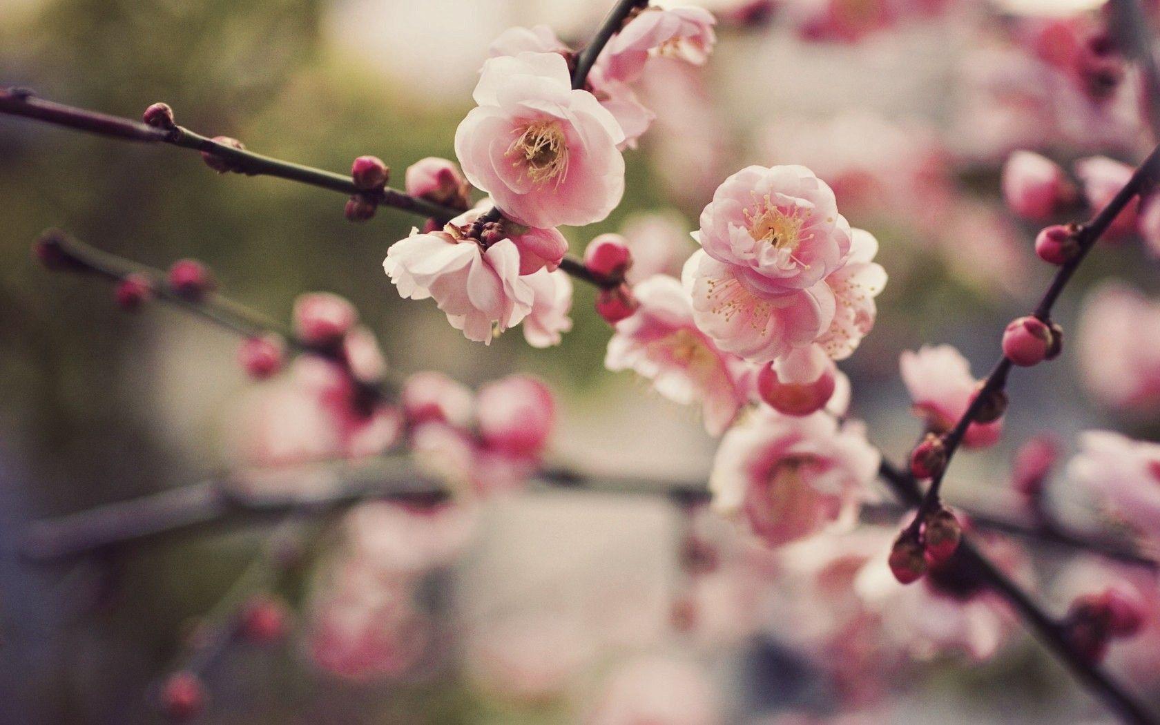 Cherry Blossom Desktop Backgrounds 1680x1050