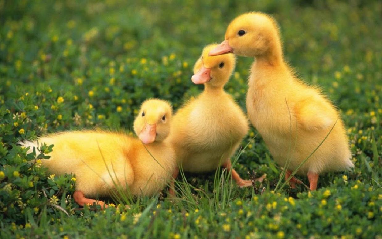 Baby Ducks Hd Wallpaper Wallpaper Desktop Hd