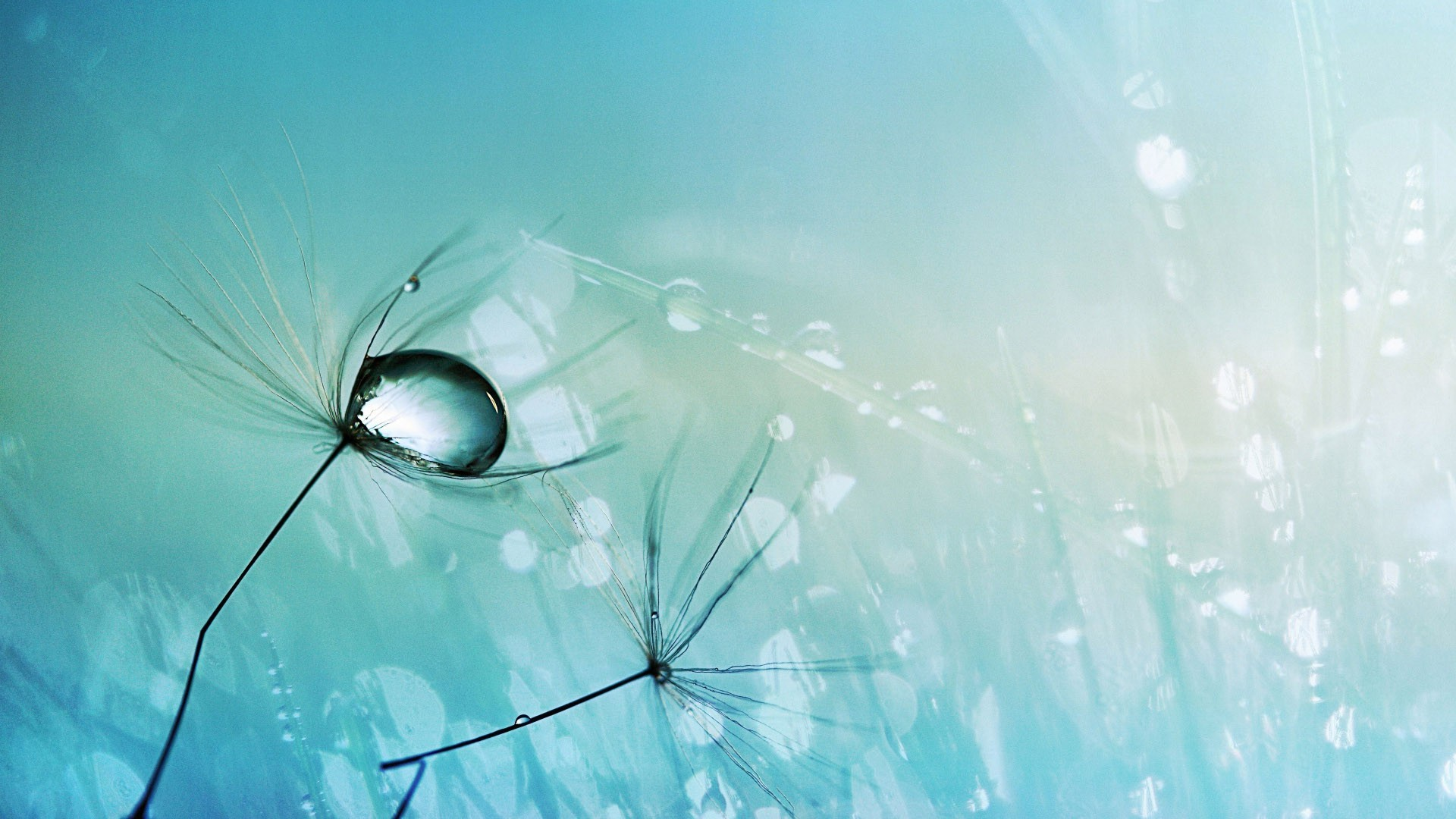Dew drops on dandelion seeds wallpaper #10769