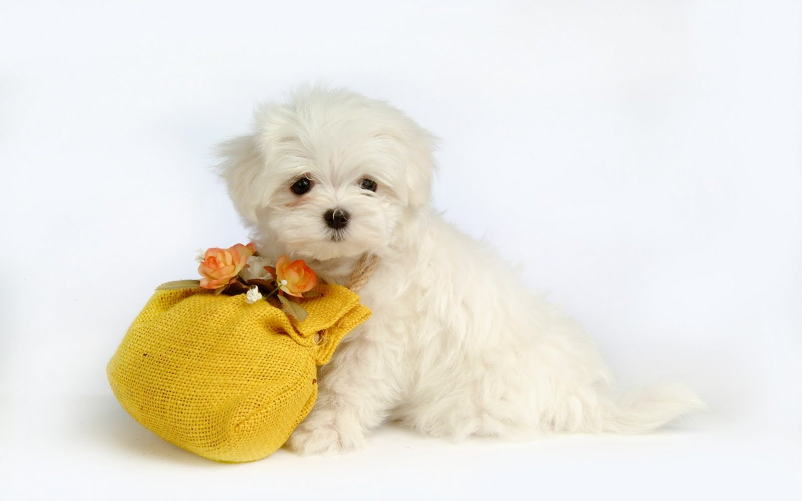 Cute Puppy Wallpaper   Wide1680x1050 Hd Wallpaper 1600x1000