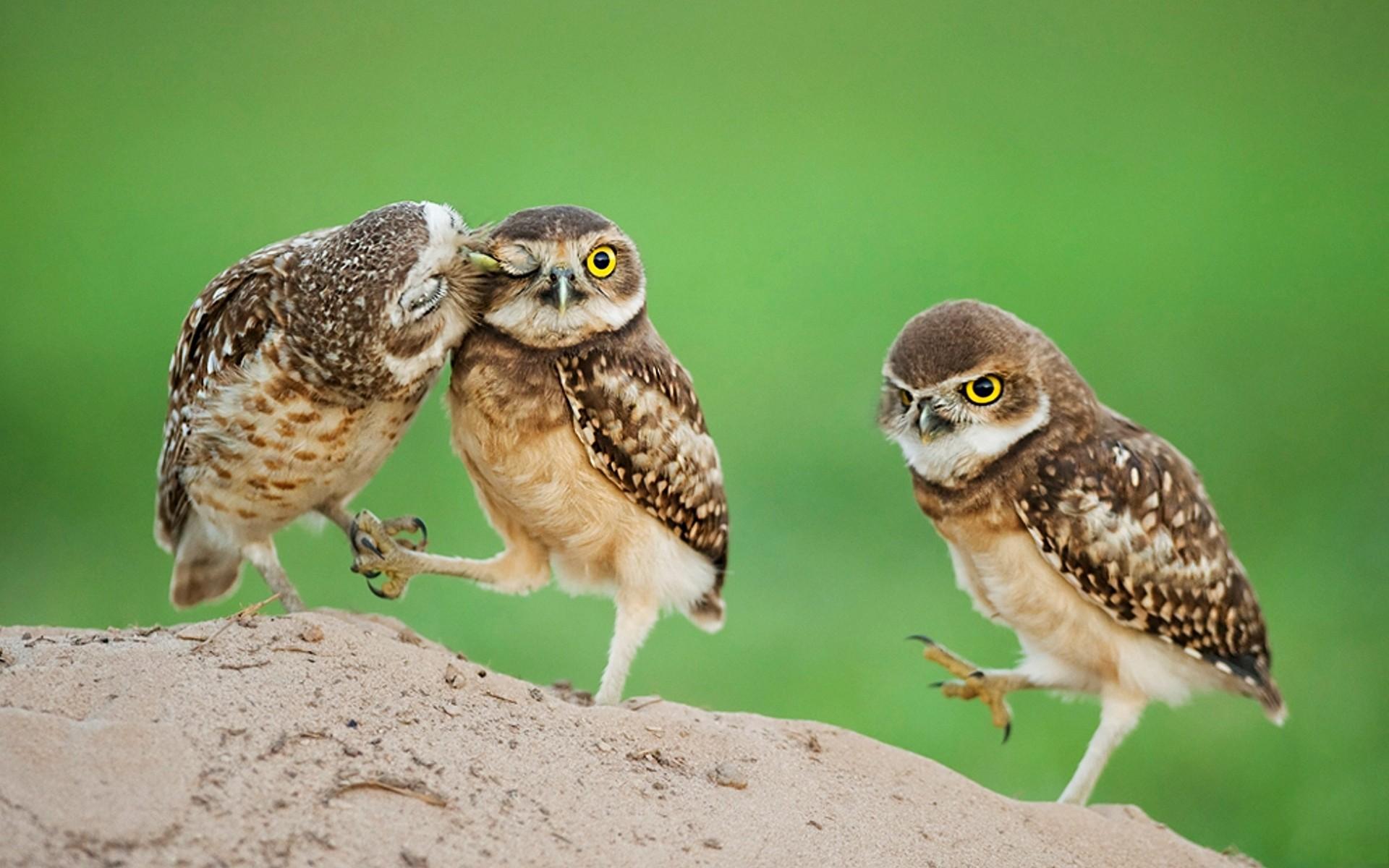 baby owl wallpaper wallpapersafari