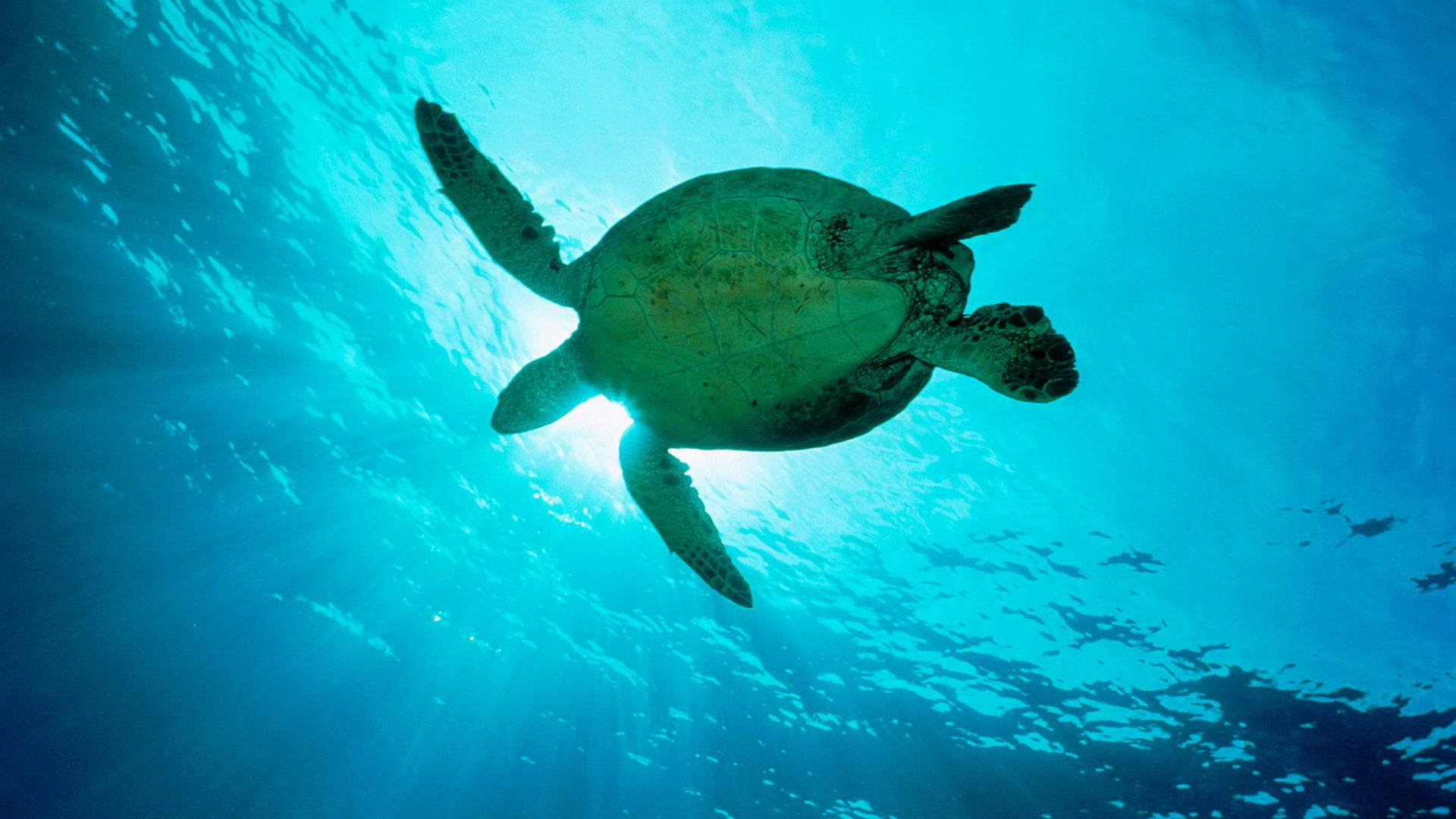 Sea Turtles Wallpaper 1920x1080 Sea Turtles 1920x1080