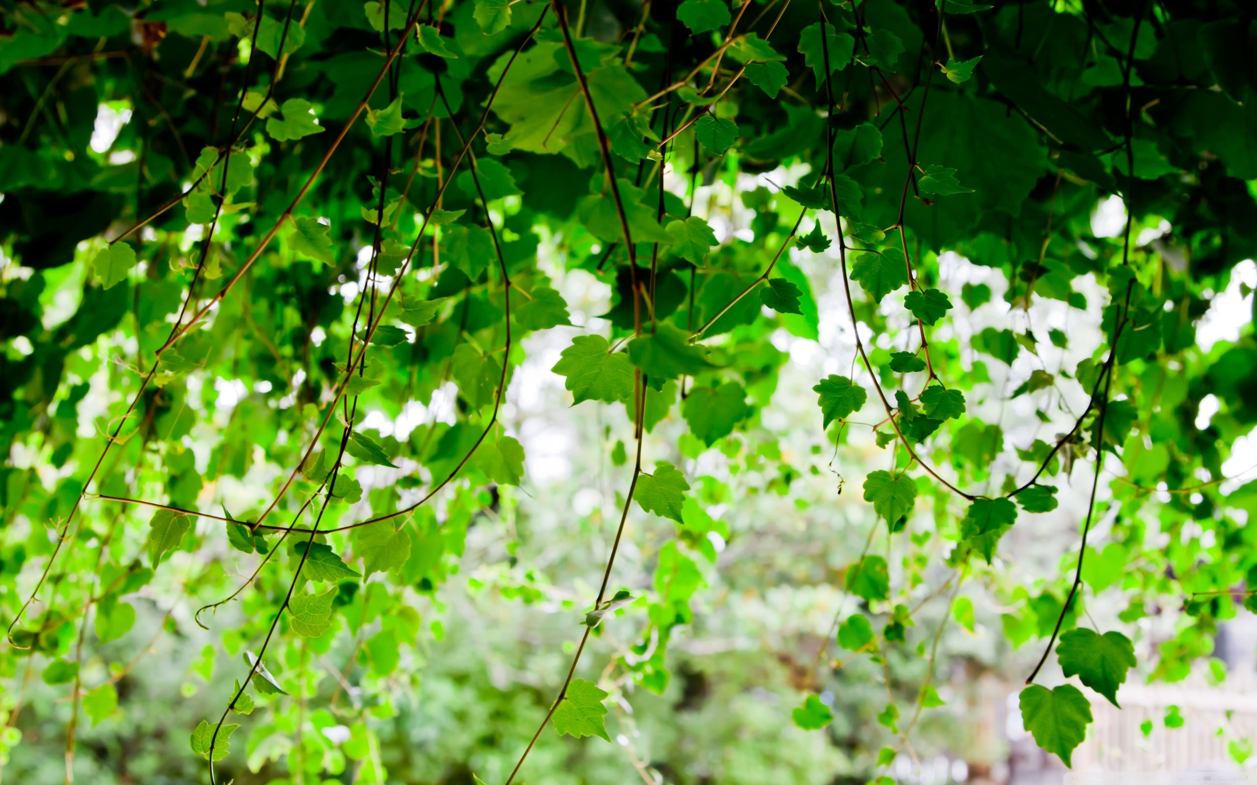 Vines Wallpapers and Background Images   stmednet 2560x1600