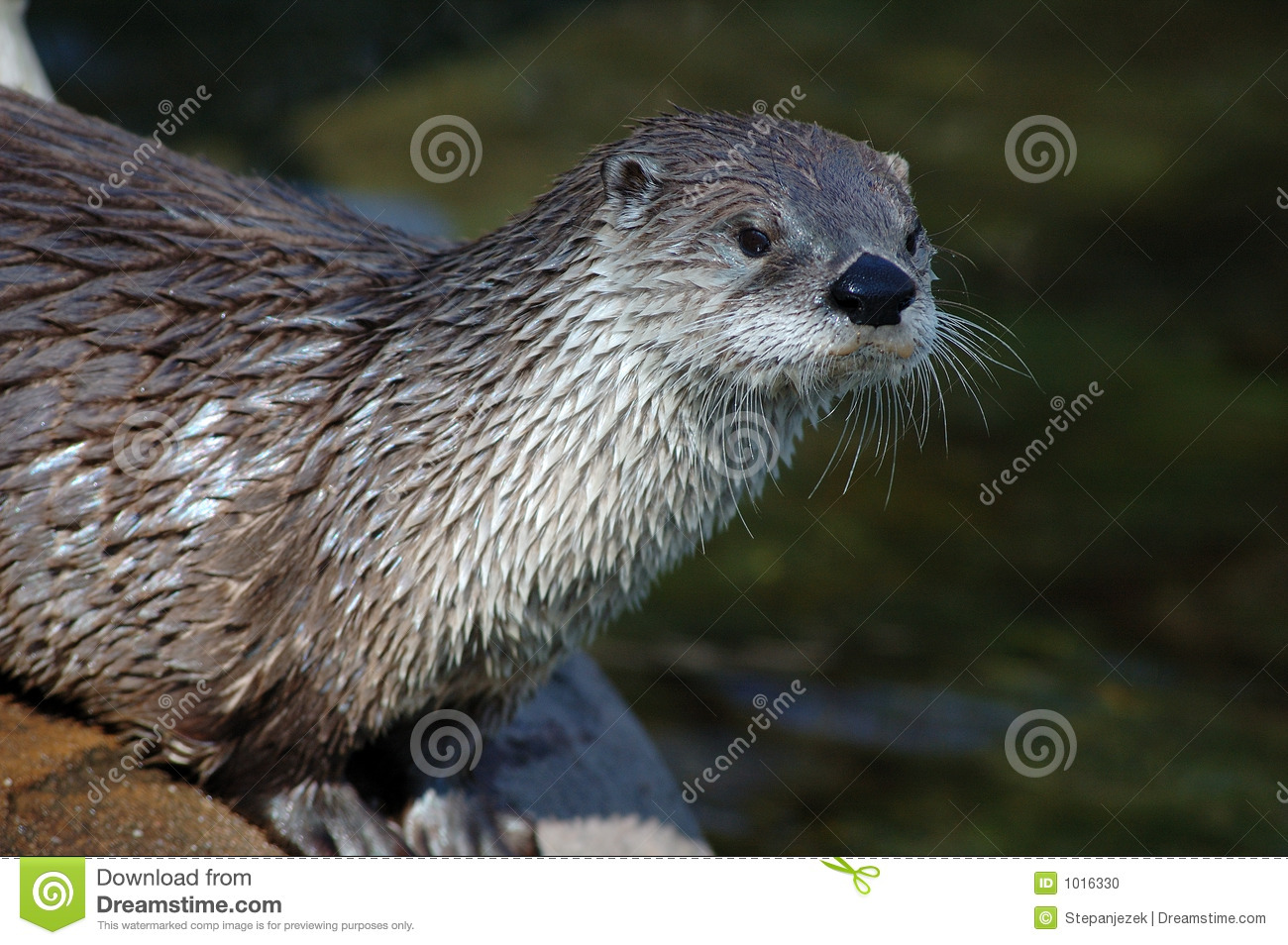Download Dmca River Otter Nashville Tennessee Wallpaper 1600 X 1200 1300x954
