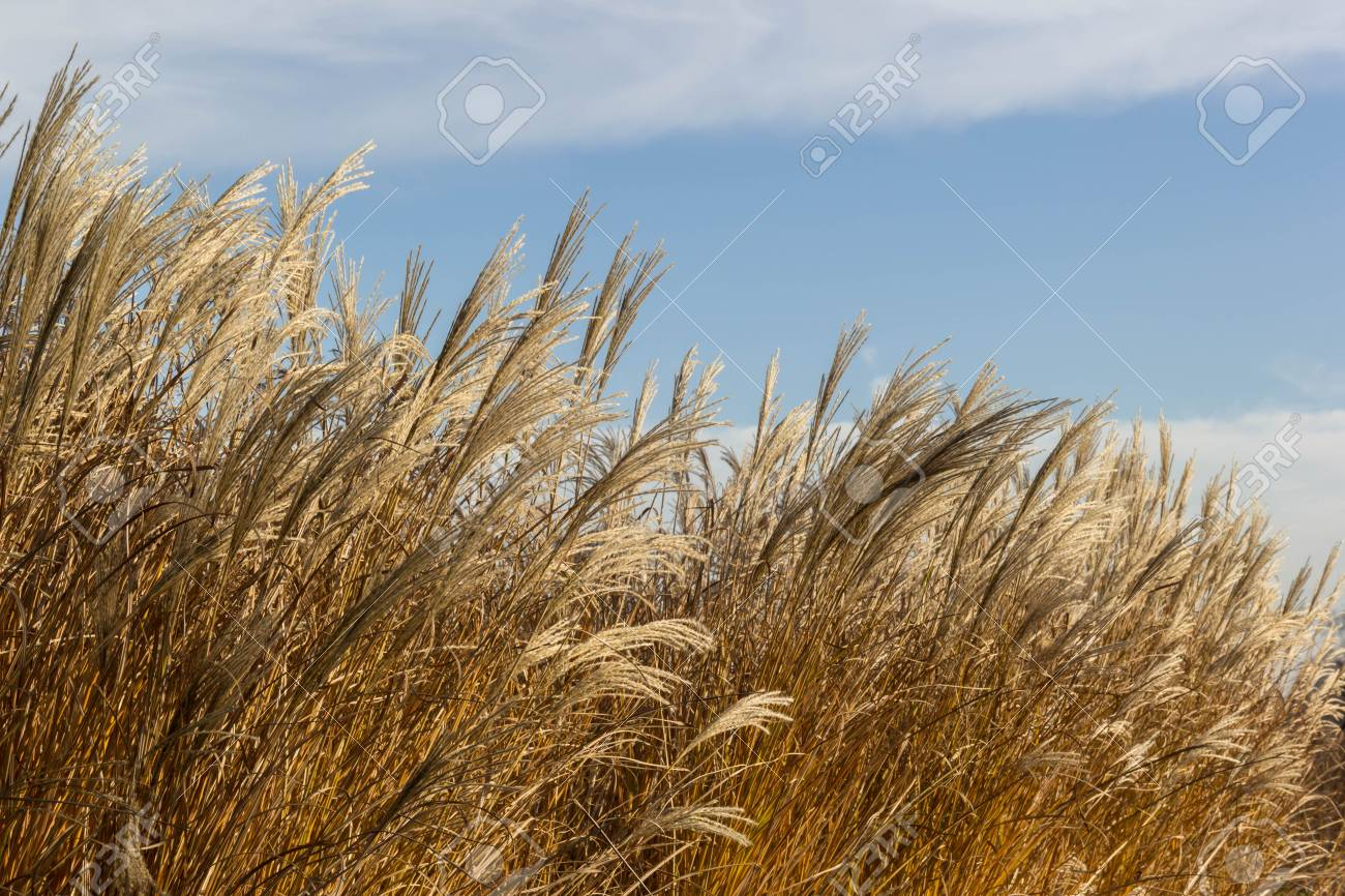 Tall Dry Grass Sway In The Wind Background Stock Photo Picture 1300x866