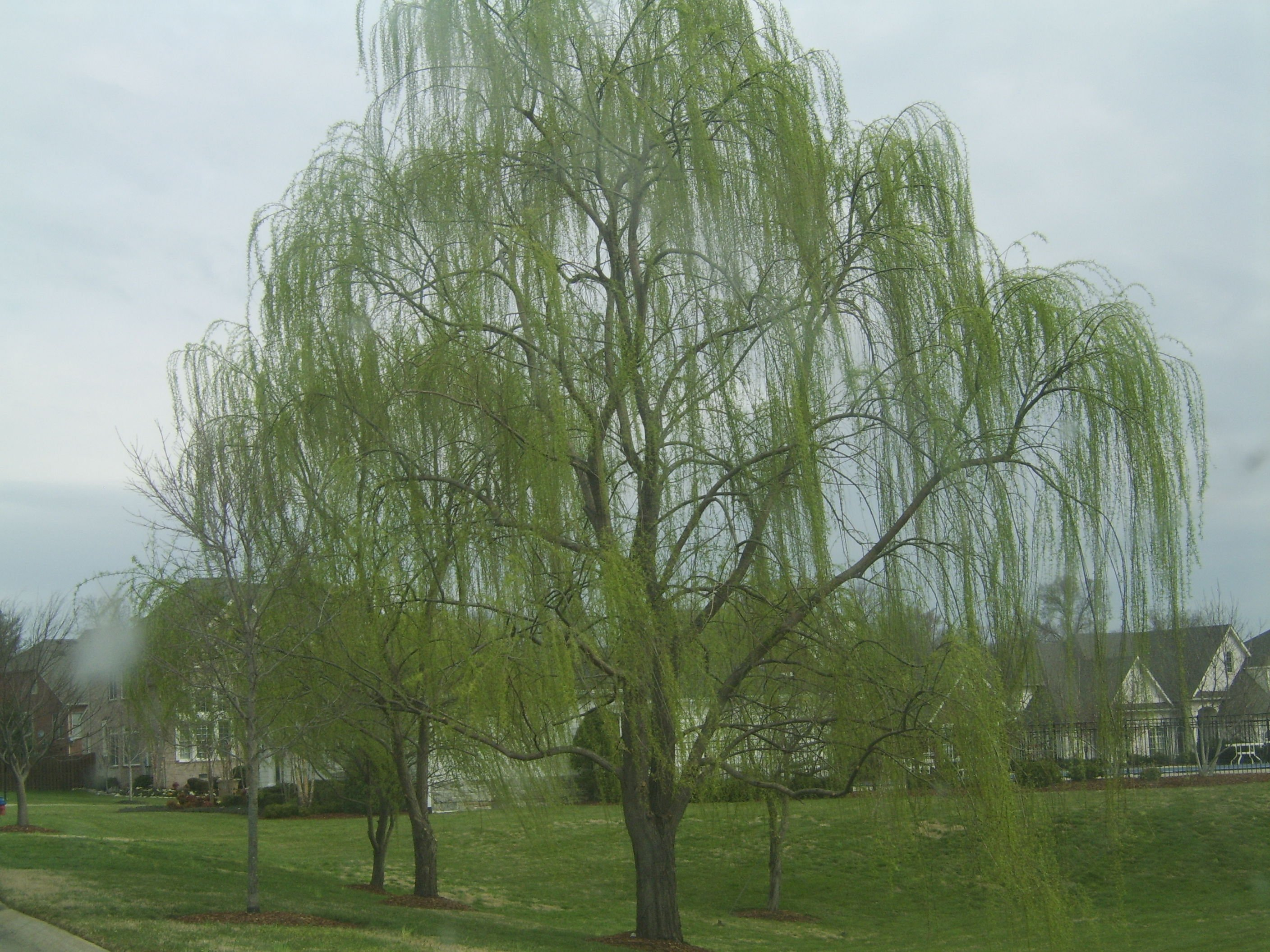 More Picture With the Weeping Willow Tree Types 2816x2112