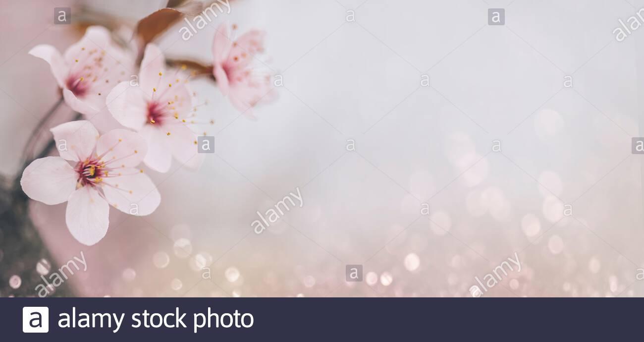 Closeup of cherry blossom flower on bokeh pastel background Macro 1300x690
