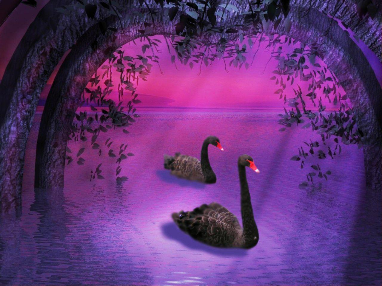 BLACK SWANS IN PURPLE NATURE WALLPAPER   151734   HD Wallpapers 1280x960