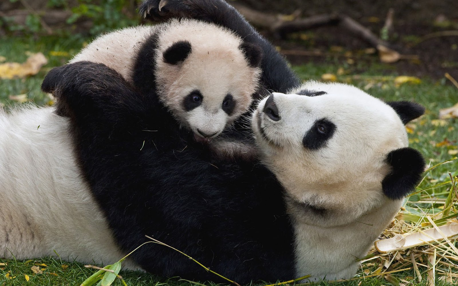 Cute photo of a mama panda bear with his baby HD animals wallpapers 1600x1000