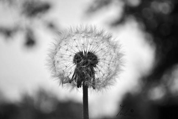 Dandelion Black And White Wallpaper Dandelion in black and white 590x395