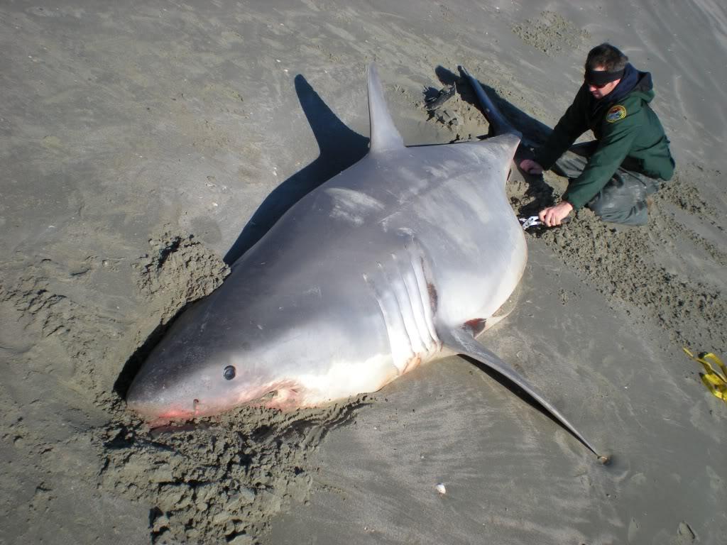 Funny great white shark wallpaper wallpapersafari for Tomales bay fishing report