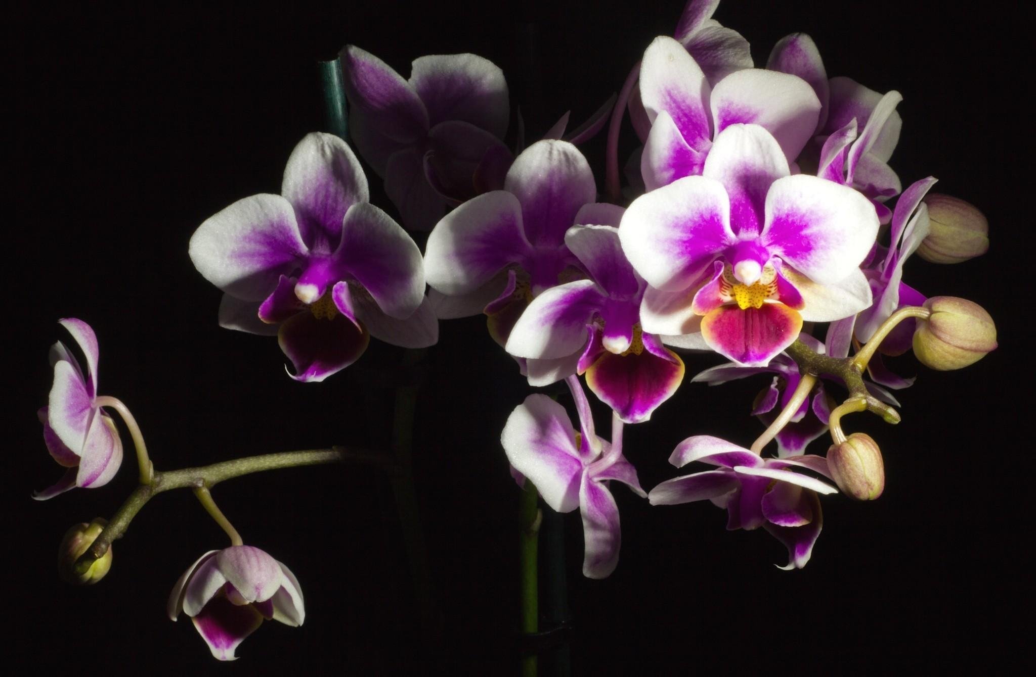 Black orchid wallpaper wallpapersafari - White orchid flowers desktop wallpapers ...