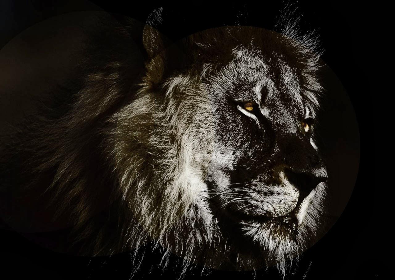 Wallpaper Lion Roar Hd Wallpaper: [44+] Black Lion HD Wallpaper On WallpaperSafari