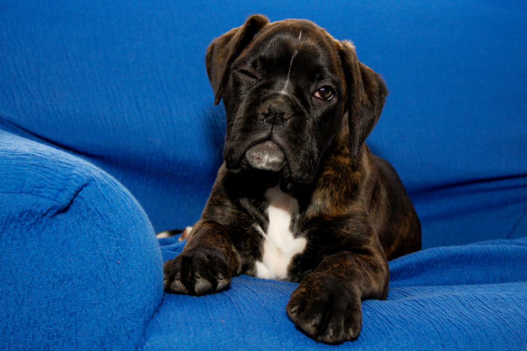 Boxer cute Puppy Pictures cute puppy pictures cute dogs pictures 1024x682