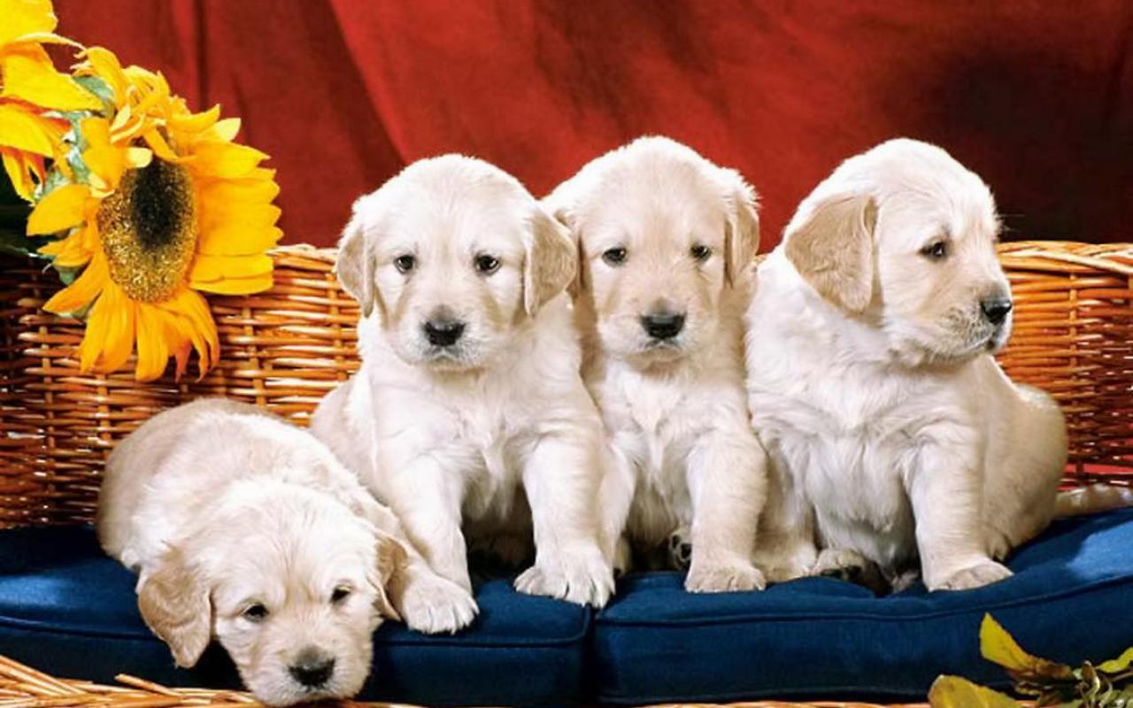 cute puppies wallpaper   89182   HQ Desktop Wallpapers 1280x800