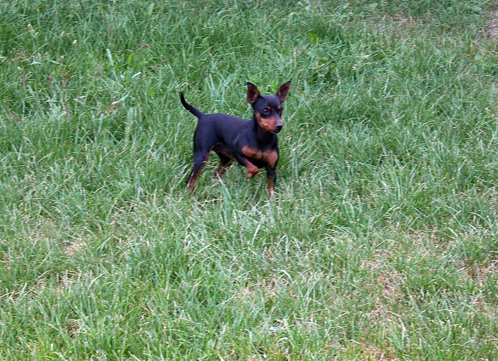 Miniature Pinscher On The Grass Wallpaper 16002151160 1600x1160