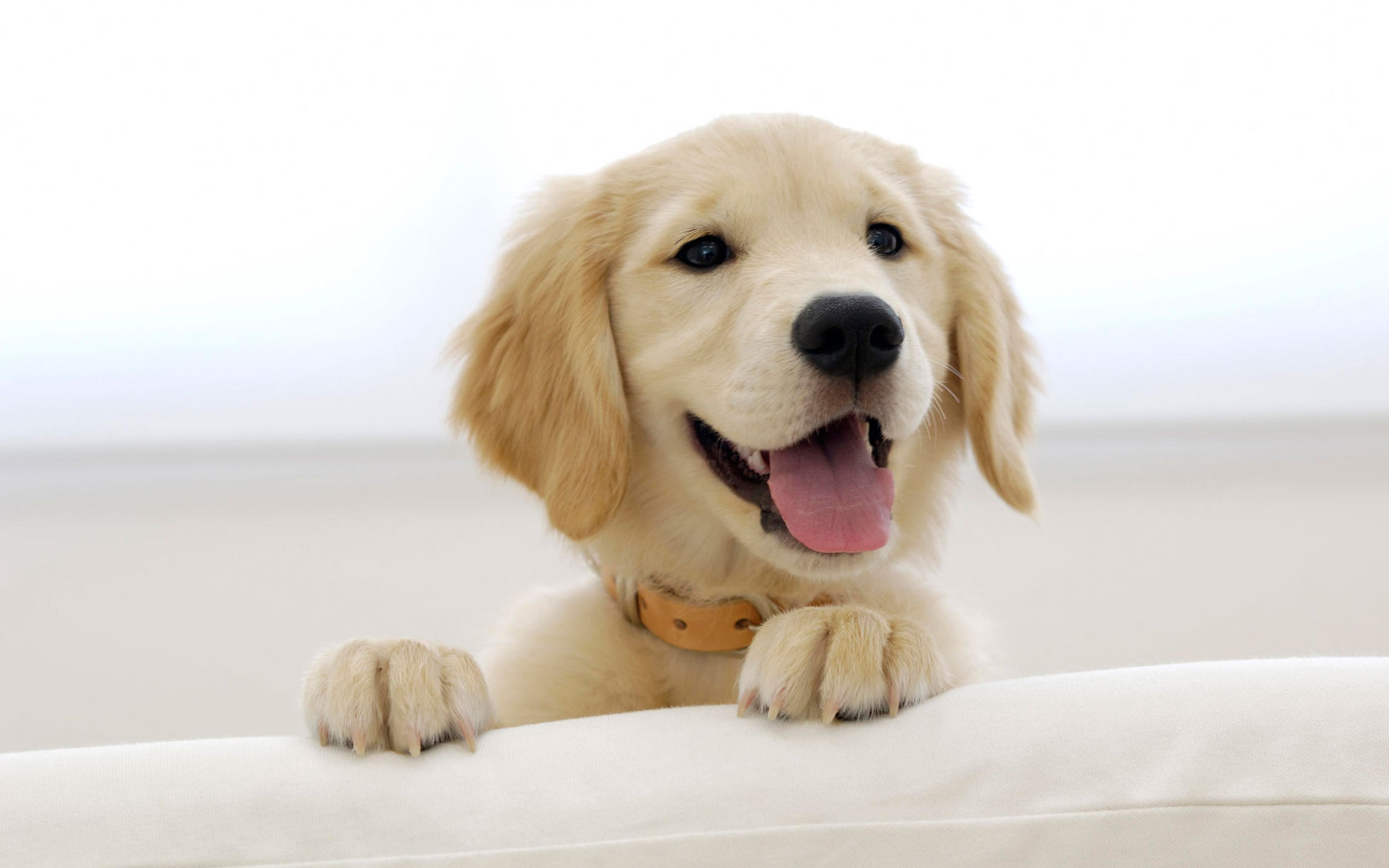 Golden Retriever Puppy Wallpapers HD Wallpapers 1920x1200