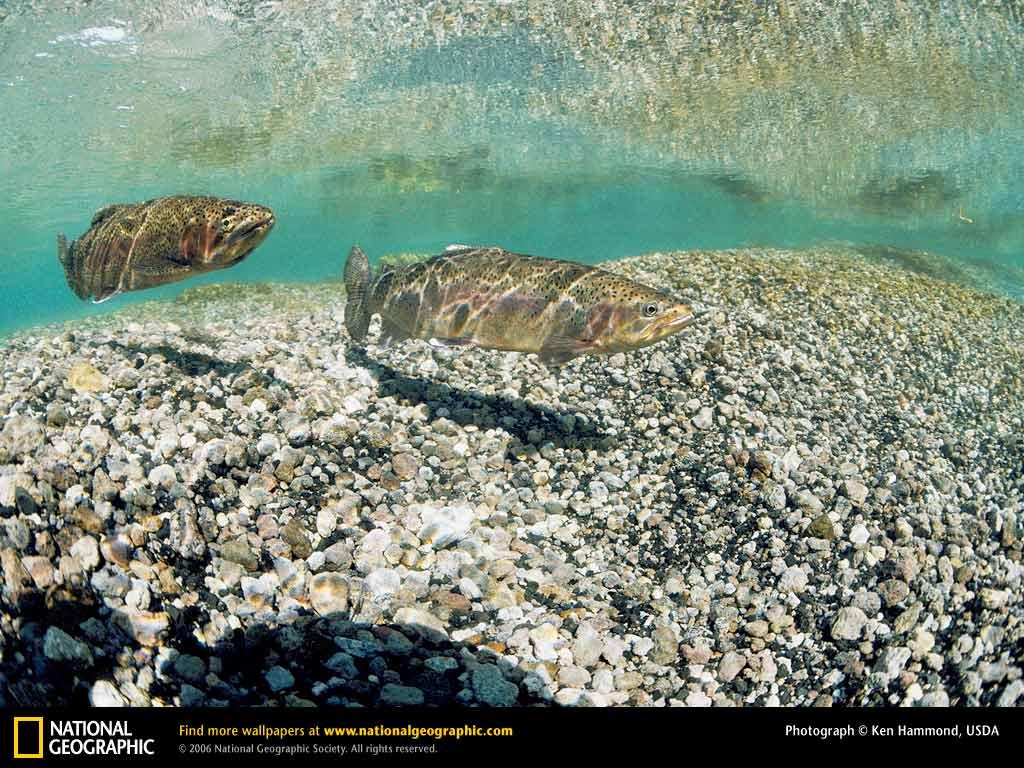 free trout fishing wallpaper backgrounds wallpapersafari