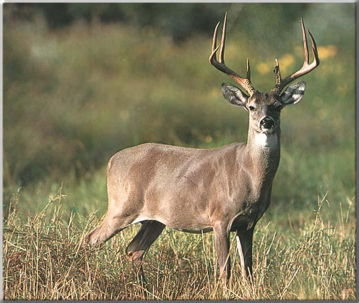 FREE WHITETAIL DEER SCREENSAVERS 712x600