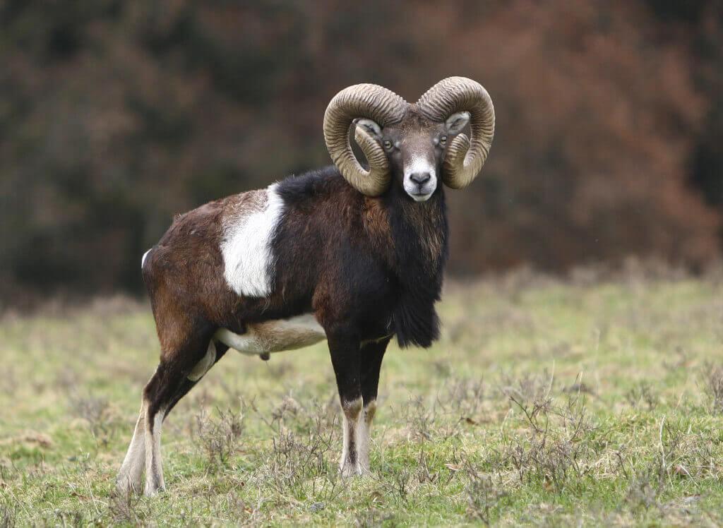Mouflon Facts Habitat Diet Pictures 1024x748