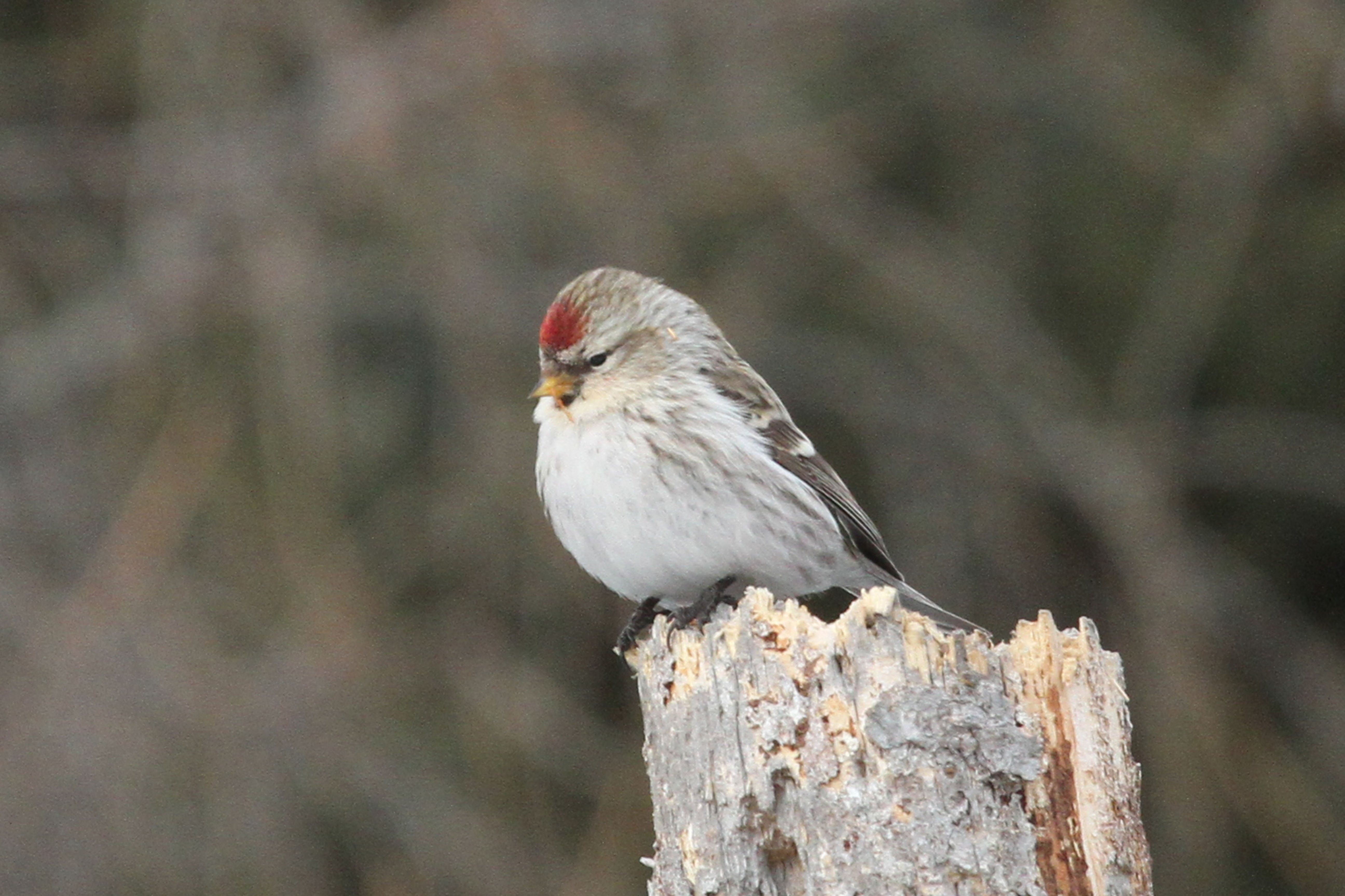 Small bird perching on dead wood during daytime hoary redpoll HD 5184x3456