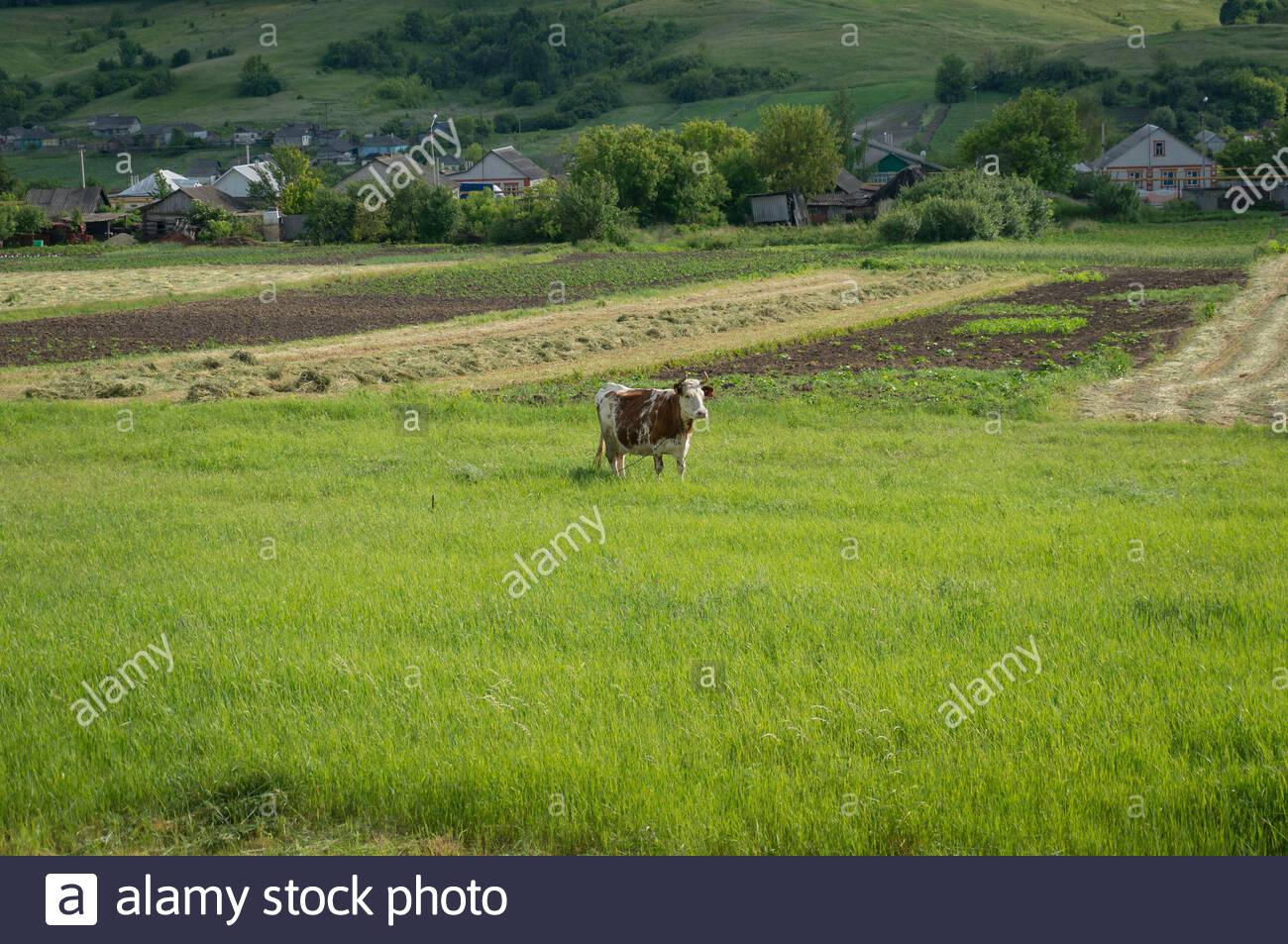 Horned milk cow on green pasture with village on the background 1300x953