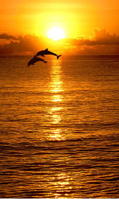 Wallpaper Dolphin Sunset Wallpapersafari