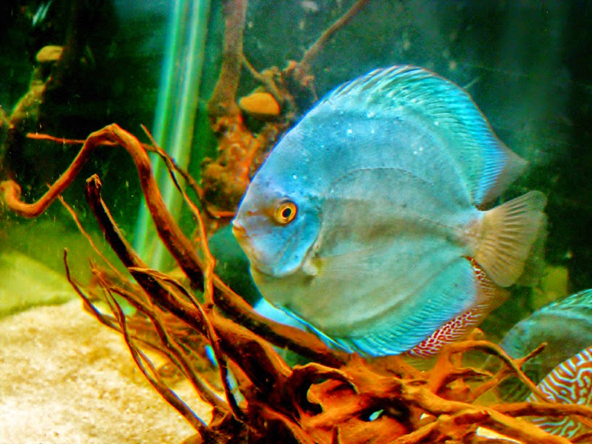 discus fish wallpaper wallpapersafari