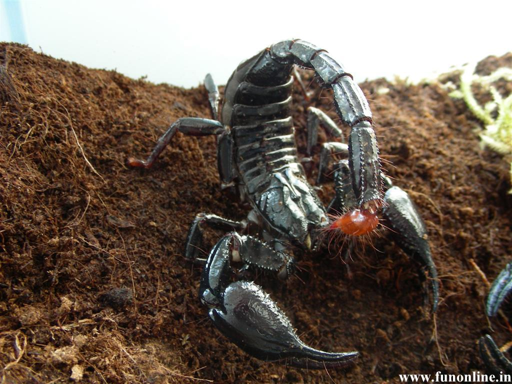 Scorpion Wallpapers Download Poisonous and Deadly Scorpions Wallpaper 1024x768