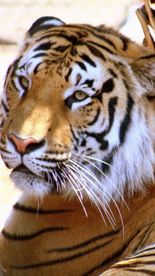 Cool Tiger Backgrounds - WallpaperSafari