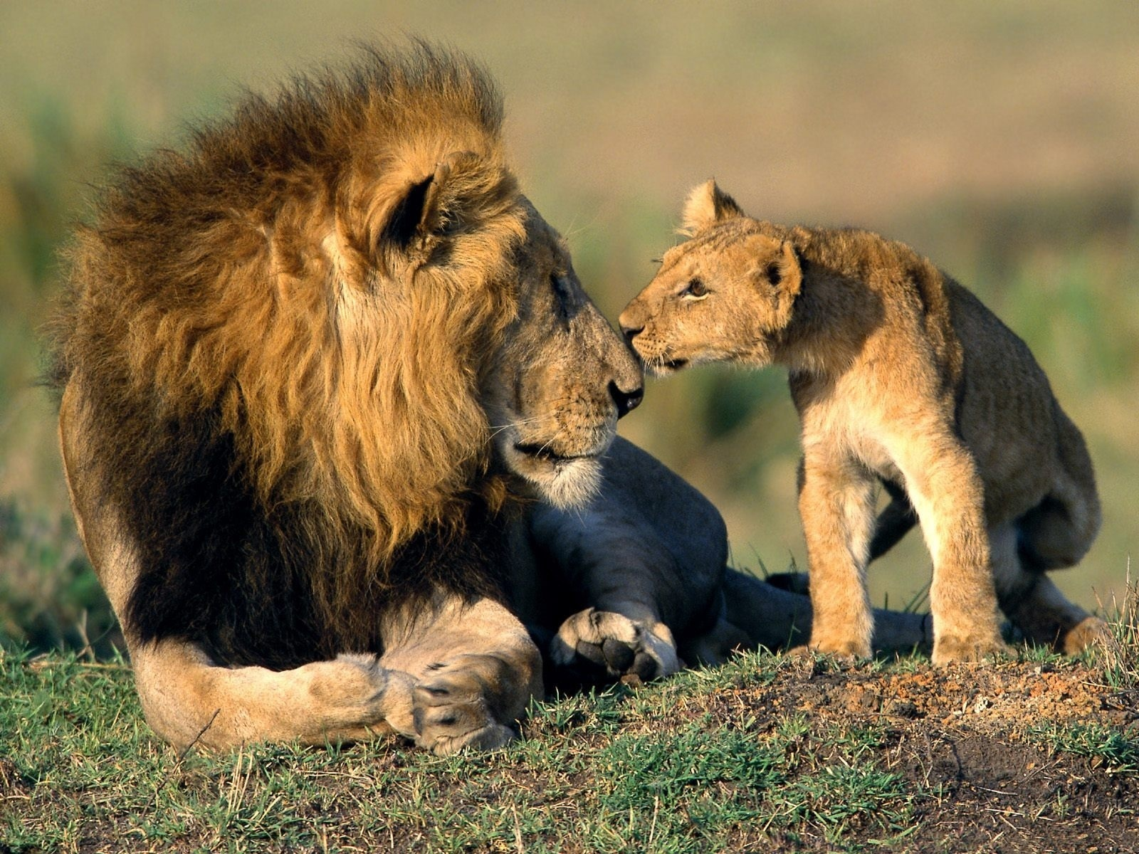 Father And Son   Wild Animals Wallpaper 3310990 1600x1200