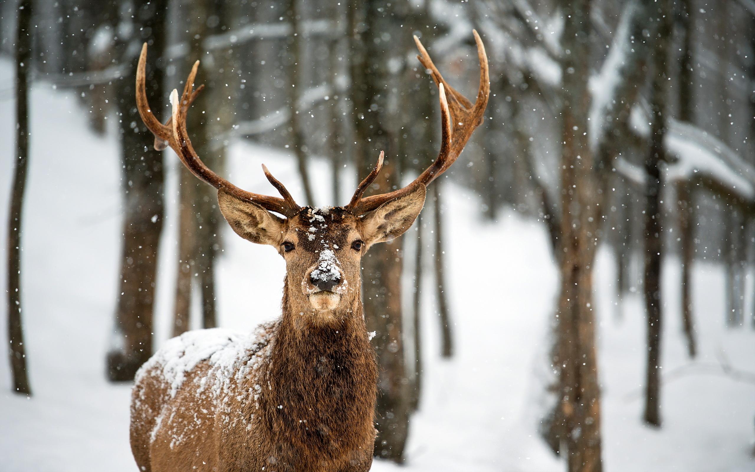 Deer Computer Wallpapers Desktop Backgrounds 2560x1600 ID349790 2560x1600