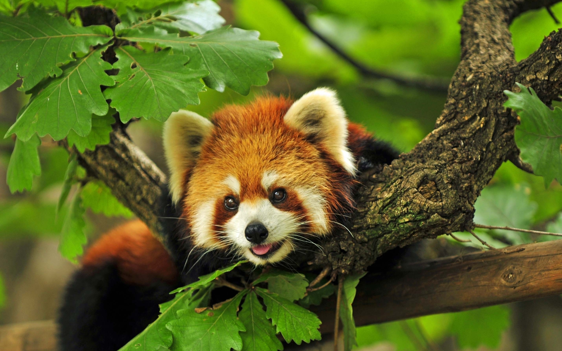 Cute Red Panda Wallpaper 300x187 For Desktop 1920x1200