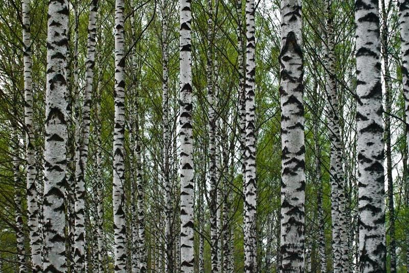 Birch Wood Tree Birchwood trees 800x533
