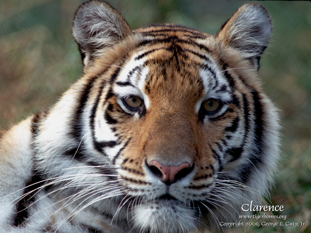 Pics Photos   White Bengal Tiger Wallpaper Resolution 1024x768